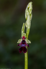 Fly Orchid (Ophrys insectifera) (BiteYourBum.Com Photography) Tags: dawnandjim dawnjim biteyourbum biteyourbumcom copyright©2019biteyourbumcom copyright©biteyourbumcom allrightsreserved uk unitedkingdom gb greatbritain england canoneos7d canonefs60mmf28macrousm canonmacrotwinlitemt26exrt apple imac5k lightroom6 ipadair appleipadair camranger manfrotto055cxpro3tripod manfrotto804rc2pantilthead loweproprorunner350aw orchid orchids orchidaceae kentdownsaonb areaofoutstandingnaturalbeauty kentdownsareaofoutstandingnaturalbeauty aonb elhamvalley kent fly ophrys insectifera flyorchid ophrysinsectifera