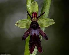 Fly Orchid (Ophrys insectifera) (BiteYourBum.Com Photography) Tags: dawnandjim dawnjim biteyourbum biteyourbumcom copyright©2019biteyourbumcom copyright©biteyourbumcom allrightsreserved uk unitedkingdom gb greatbritain england canoneos7d canonefs60mmf28macrousm canonmacrotwinlitemt26exrt apple imac5k lightroom6 ipadair appleipadair camranger zerenestacker manfrotto055cxpro3tripod manfrotto804rc2pantilthead loweproprorunner350aw orchid orchids orchidaceae kentdownsaonb areaofoutstandingnaturalbeauty kentdownsareaofoutstandingnaturalbeauty aonb elhamvalley kent fly ophrys insectifera flyorchid ophrysinsectifera