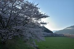 名田庄31・Natasho (anglo10) Tags: japan 福井県 大飯町 名田庄 北陸 桜 cherry 田園 field