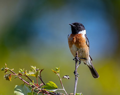 Stonechat (wryneck94) Tags: thursley birdwatching surrey