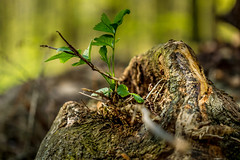 A little piece of nature (Werner Thorenz) Tags: natur nature wald wood holz baum baumstamm treetrunk bole forest