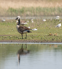 Canada Goose (with young) (cabalvoid) Tags: bird canadagoose sony wildlife goose water woodland