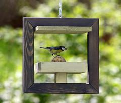 Mésange bleue (Carahiah) Tags: mésange oiseau bird nature nourriture