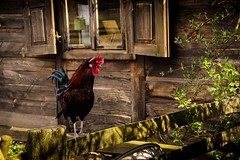 (QUZZart) Tags: polskawieś kogut gallo polishphotography nature polishcountry polishcottage poland canon bird
