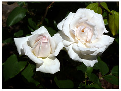 Rose (claudiobertolesi) Tags: claudiobertolesi fiori fiore flowers italy italia milano milan mailand rosa rose panasonic panasonicdmctz18 flickr claudiobertolesiphotos
