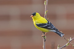 Hanging on (A.Joseph Images) Tags: goldfinch bird tree outdoor oiseux nature nikkor200500mmedf56vr nikon wildlife songbird yellow black brown montreal quebec canada