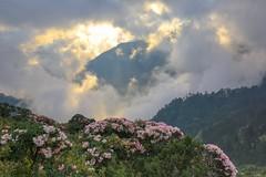合歡山杜鵑花季(Alpine Rhododendron season @ Mt.Hehuan)。 (Charlie 李) Tags: alpinerhododendron mainpeak 主峰 sunset mthehuan 夕陽 雲湧 高山杜鵑 杜鵑花季 合歡山