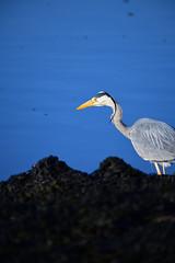 I see you (chris_m03) Tags: heron bird fishing nature
