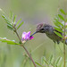 Anna's Hummingbird feeding on vetch