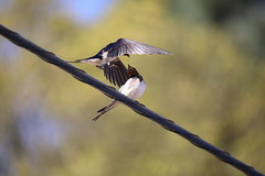 Hello my love... (Nora077) Tags: hirundo rustica golondrina barnswallow