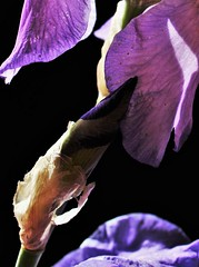 My Photo. Iris.Spring -  the Wonder of the World Around Us (Gigliola Spaziano) Tags: explore