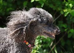 Wooo hoooo look at my hair :) (Gavin E Young) Tags: dog k9 grey pet canon 5ds