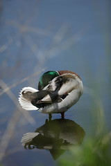 Duck sat on a wooden stake under the water (Gavin E Young) Tags: duck ducks drake drakes bird birds canon 5ds