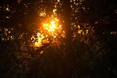 Orange sunset. (Azariel01) Tags: 2019 belgique belgium brussels bruxelles coucherdesoleil sunset leaves feuilles trees arbres rayons rays sunbeam
