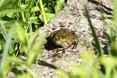 Biotope Birsfelden 14-05-2019 013 (swissnature3) Tags: biotope birsfelden switzerland nature wildlife animals frog
