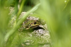 Biotope Birsfelden 14-05-2019 010 (swissnature3) Tags: biotope birsfelden switzerland nature wildlife animals frog