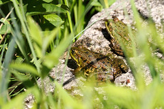 Biotope Birsfelden 14-05-2019 008 (swissnature3) Tags: biotope birsfelden switzerland nature wildlife animals frog