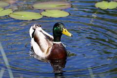 Biotope Birsfelden 14-05-2019 006 (swissnature3) Tags: biotope birsfelden switzerland nature wildlife animals birds mallard