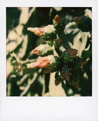 Hollywood Spring - Cactus Flowers (tobysx70) Tags: polaroid originals color 600 instant film slr680 hollywood spring cactus flowers beachwood drive canyon hills los angeles la california ca prickly pear paddle flower blossom plant succulent red yellow green cactaceae bokeh toby hancock photography