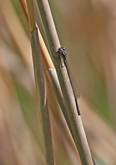 Red Eyed Damselfly - Michael Bird (Just call me Doc) Tags: redeyeddamselfly damselflies odonata erythrommanajas granthamcanal harby plungar leicestershire michaelbird canon tamron g2 6d 150600mm