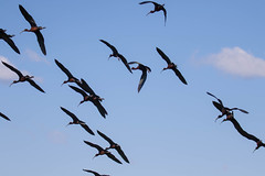 7K8A5120 (rpealit) Tags: scenery wildlife nature ocean city rookery glossy ibis bird flying