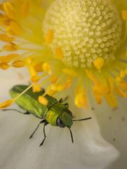 green jewel (Remosone) Tags: macro macrophotography macrophoto jewel flower yellow nikon d5300 sigma 105mm28
