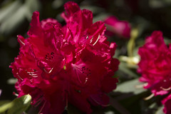 I rododendri (Luciana.Luciana) Tags: rhododendron rododendro piantaarbustiva perenne flora fiori floreale fioritura primavera fruehling spring εαρινό frühling printemps الربيع 春天 वसंत