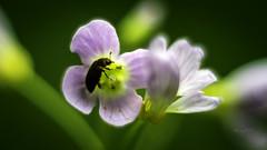 // Maienzeit (seyf\ART) Tags: nahaufnahmen makro macros natur nature colorful springtime frühling helios2858 flowers blüten bloom pink