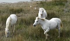 Camargue ohne weiße Pferde? Undenkbar! (langkawi) Tags: cheval camarguepferd camargue horse wild semiferal provence wildpferd halbwild blancs oiseauxblancs cheveau