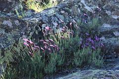 Lavanda en flor (alvaro.foto) Tags: flor morado primavera guadalajara vado lavanda