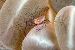 0M9A0136 (PaoloLora) Tags: puerto galera puertogalera mindoro filippine phillippines scuba dive macro underwater critter clown shrimp octopus leaf fisherman fishermen cove fishermenscove paolo lora