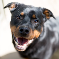 Smiling Rottweiler available for adoption (D_Snapper) Tags: rescue shelter amsterdam adoptdontshop adoption rottweiler portrait dog hond portret 50mm 50mm12l canon eos 5d3 5dmk3 5dmkiii 5diii smile antropomorfisme anthropomorphism