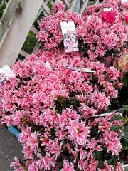 Azalea 'Pink Spider' (wallygrom) Tags: england westsussex eastpreston ferring worthing a259 haskins