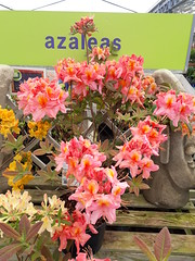 Azalea 'Berryrose' (wallygrom) Tags: england westsussex eastpreston ferring worthing a259 haskins