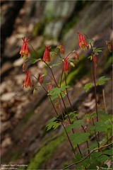 Eastern Red Columbine at Lehigh Gorge State Park, PA (The Dark Side Observatory) Tags: tomwildoner easternredcolumbine eastern red columbine wildflower flower yellow orange lehighgorgestatepark weatherly pennsylvania carboncounty canon canon6d macro flash tripod april 2019 nature environment pretty colorful spring