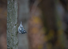 Warbler or Nuthatch!? (rmikulec) Tags: black white warbler birding nature wild wildlife animal ornithology migration spring rain wet cold forest dark leaves branch trunk