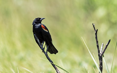 Black-winged Blackbird (noblesgeorge1) Tags: