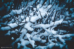 Soft Fingers (jenelle.melchior) Tags: seattle canon blue black frozen nature plant branches winter snow