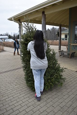 Picking a Christmas Tree & Bringing it Home (Pictures by Ann) Tags: countdowntochristmas holiday winter familytradition tradition pickingachristmastree christmastree tree prairierestorations sophia hauling