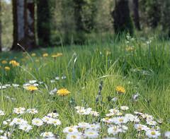 Dandelions & daisies (Kent C.) Tags: mamiyarb67pros film filmphotography kodakportra400 mediumformat 6x7 120film