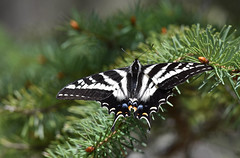 The beauty of nature... and of symmetry. (Snixy_85) Tags: butterfly swallowtailbutterfly northamerica