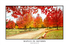 Maples in colours of rich red, orange and yellow in Autumn (sugarbellaleah) Tags: trees maples season leaves autumn red orange yellow vibrant park bluemountains mtwilson road beautiful pretty colourful amazing rich hues mapletree mapleleaves cathedralreserve picnic grass campground