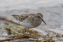 Least sandpiper (Peter Stahl Photography) Tags: leastsandpiper sandpiper peep shorebird shorebirdswaderalbertacanadabirds