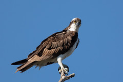 Osprey (Linda Martin Photography) Tags: bird circleb usa pandionhaliaetus wildlife osprey nature florida a little beauty coth naturethroughthelens coth5 ngc npc