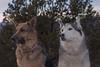 Aurora and Liesl (Cruzin Canines Photography) Tags: animal animals canon canoneos5ds canon5ds canine 5ds eos5ds dog dogs mammal pet pets gsd germanshepherd shepherd liesl aurora husky huskies alaskanhusky siberianhusky outdoors outside nature naturallight gardenofthegods colorado coloradosprings
