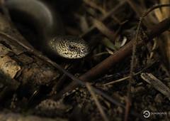 Slow Worm (Anguis fragilis) (Ouroboros Photography) Tags: canon england herp herpetology reptile spring unitedkingdom anguis fragilis slowworm lizard somerset