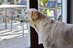 Neewer  32mm f/1,6 (glaserei) Tags: iva hunde hund haustier labrador labi goldie retriever