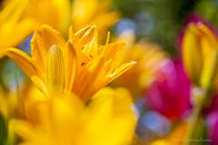Fragments 2019-05-15 (GintarasJ) Tags: gėlės flowers sodas garden macro makro kaunas tulpė tulip tulips žiedai žydėjimas blossom sun saulė gamta nature tulpės helios443mc helios443