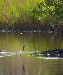 Kingfisher Missile (PenparcauBoy) Tags: kingfisher bird cilgerran cardigan wildlifecentre missile strike predator fishing arrow blue pond water fish wildlife