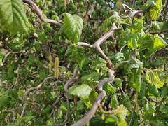 Hazel tree @ Parc Vignières-Pommaries @ Annecy-le-Vieux (*_*) Tags: printemps spring 2019 europe france hautesavoie 74 annecy annecylevieux hazel noisetieur